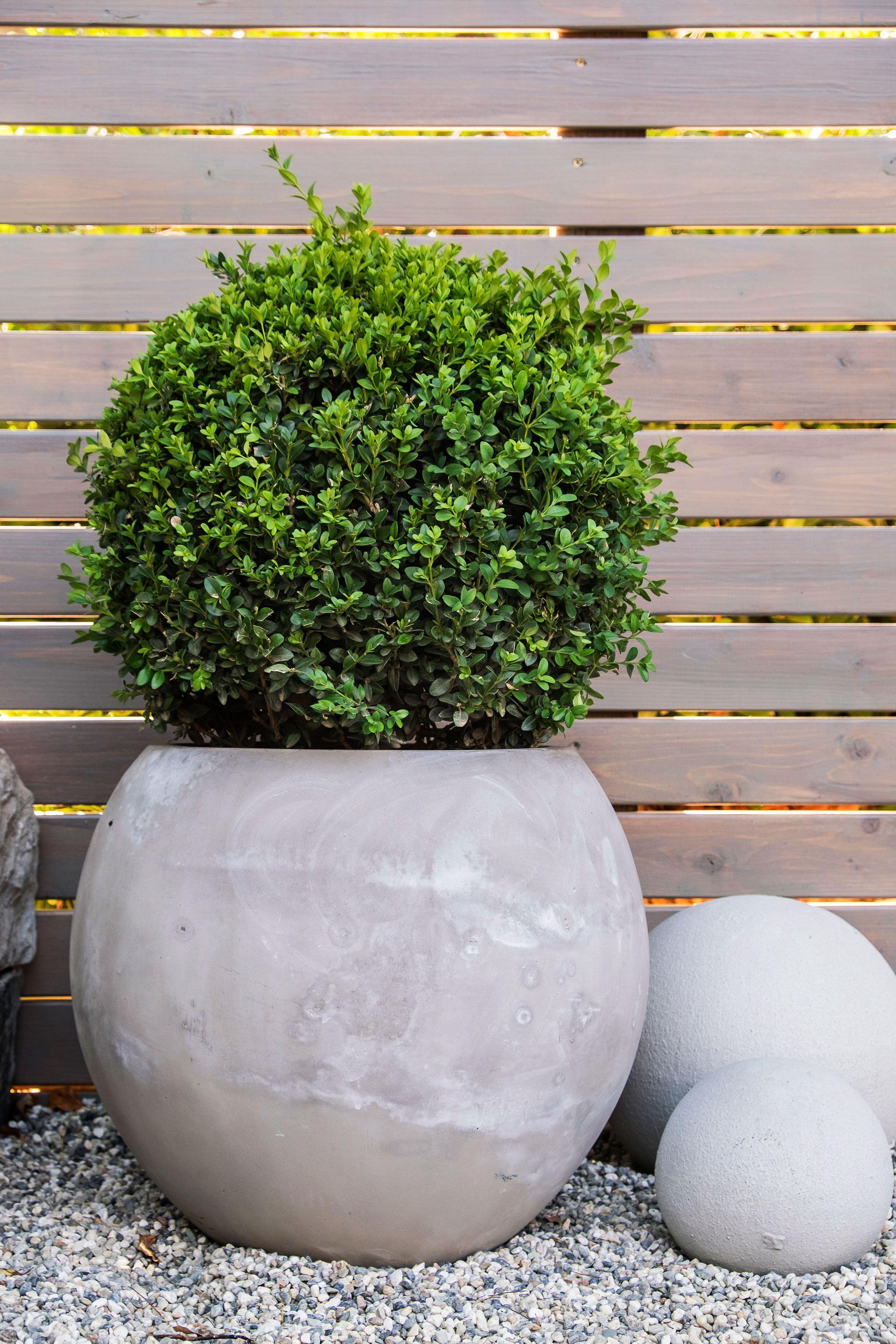How to design a zen garden zen garden boxwood plant