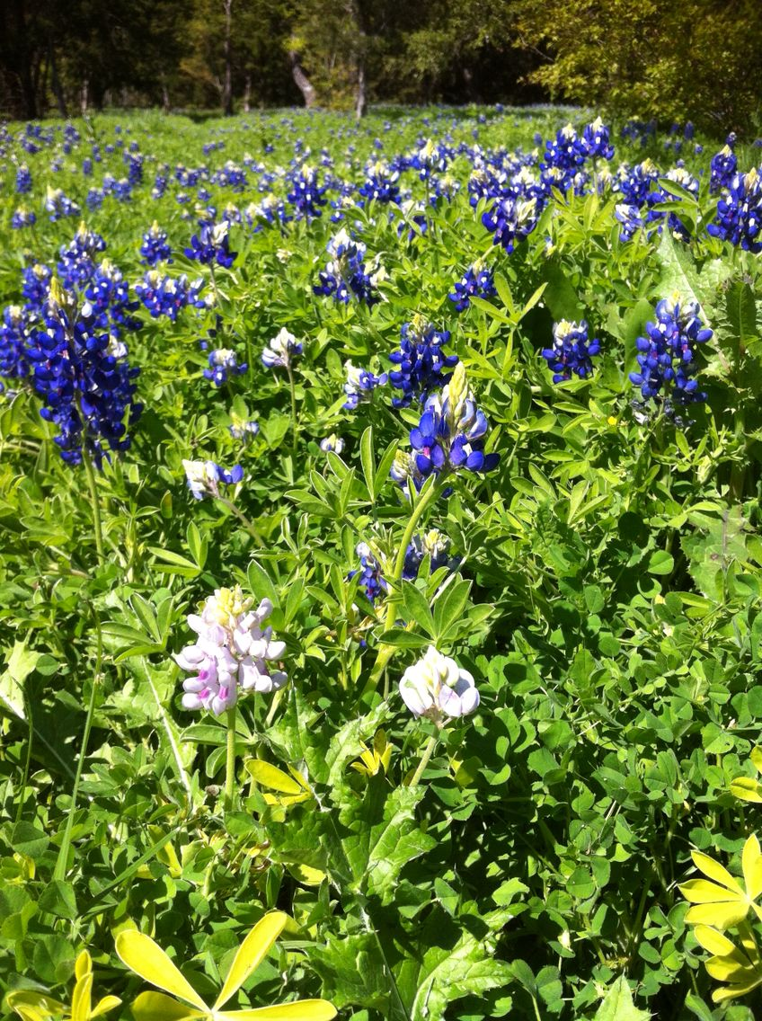 Rare white bluebonnet!