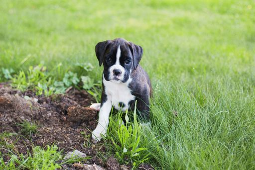 Boxer puppy for sale in BELLINGHAM, WA. ADN35353 on