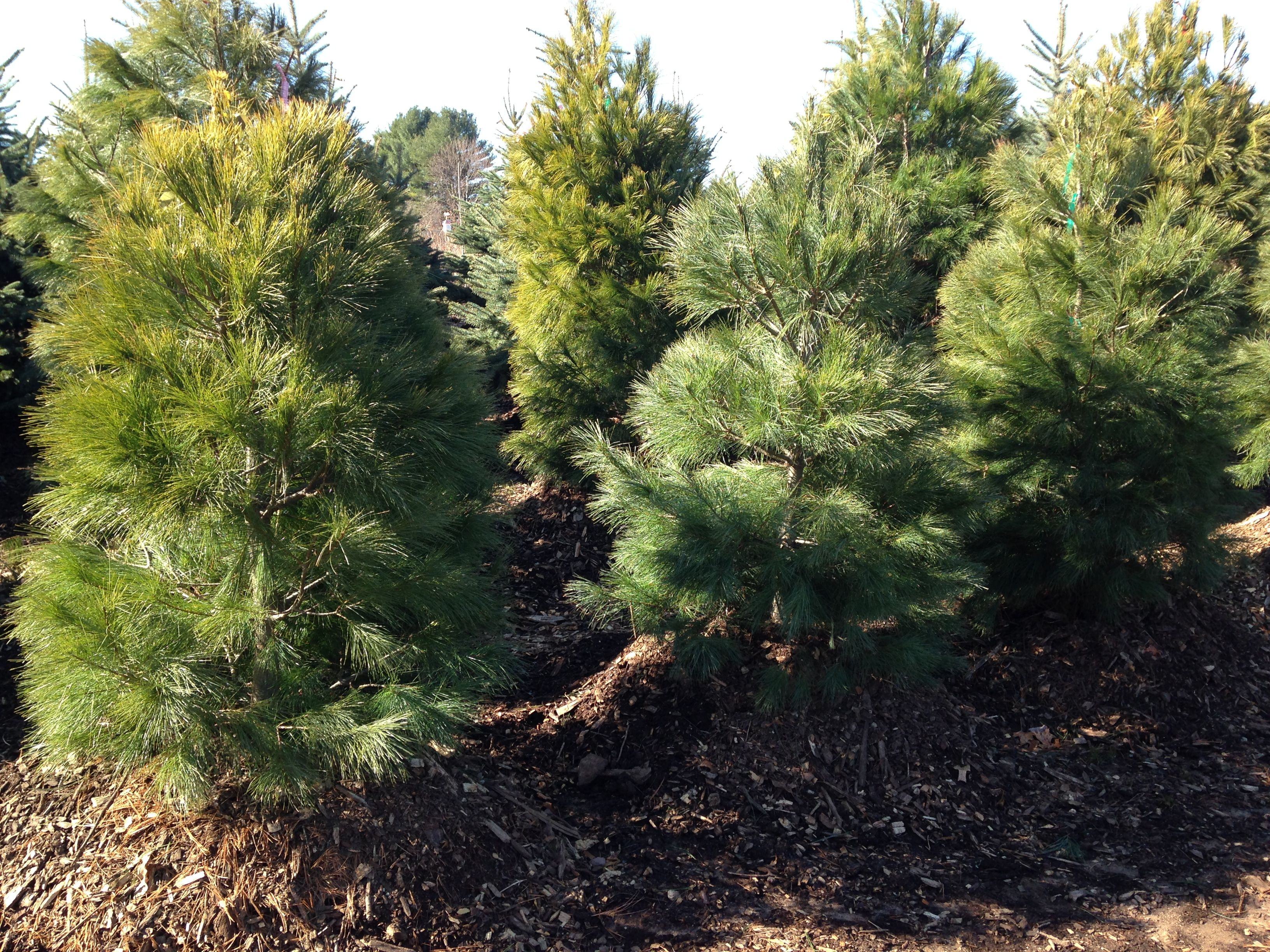 Our Own Grown White Pine Find This Pin And More On Privacy Hedge Trees