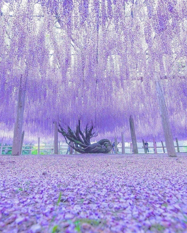 a1e821b19c63a2a39ae07a625b4cab4a - Wisteria Tunnel At Kawachi Fuji Gardens Kitakyushu Japan