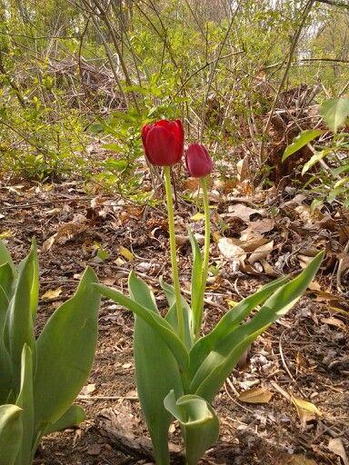 Tulips Home Tulips Plants Garden