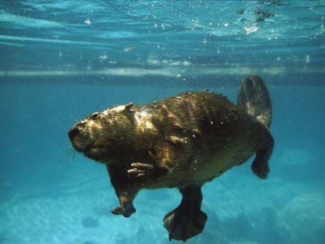 American Beaver (Castor Canadensis)  Konrad Wothe at Art.com