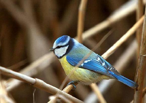 Blauemeise - pitigoiul - Parus  caeruleus