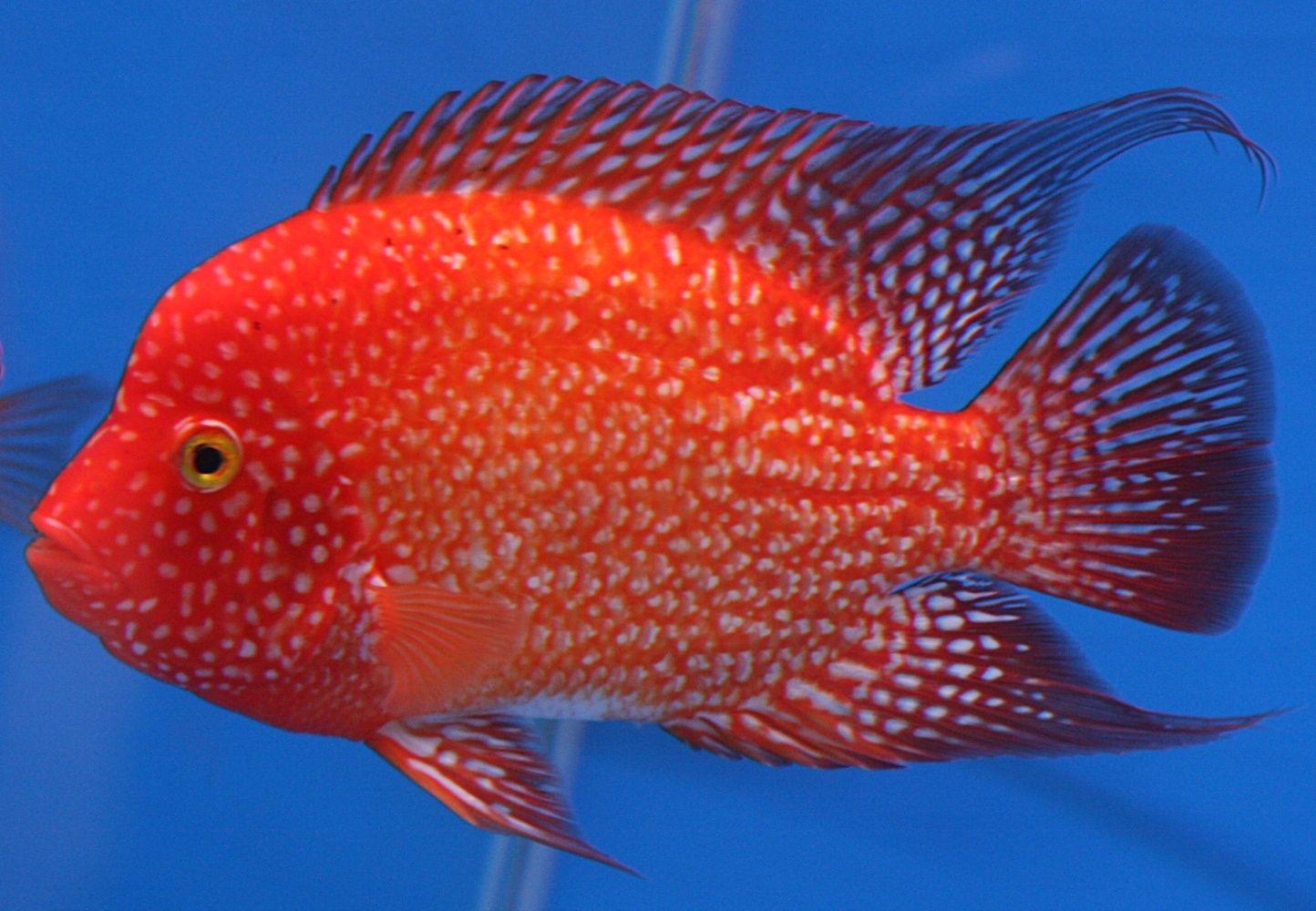 Red Texas Cichlids, Marine aquarium fish, Aquarium fish