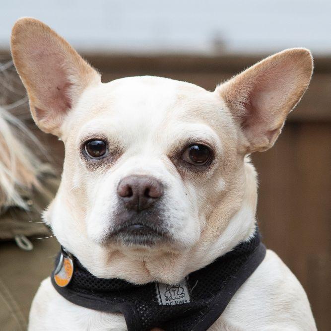 Adopt Oliver on French bulldog, French bulldog adult