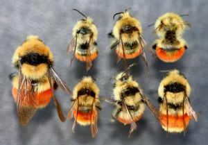 Figure 5  Size range of Bombus huntii  An overwintered queen
