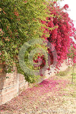 Bougainvillea In Full Bloom On Concrete And Brick Wall Bougainvillea Brick Wall Brick