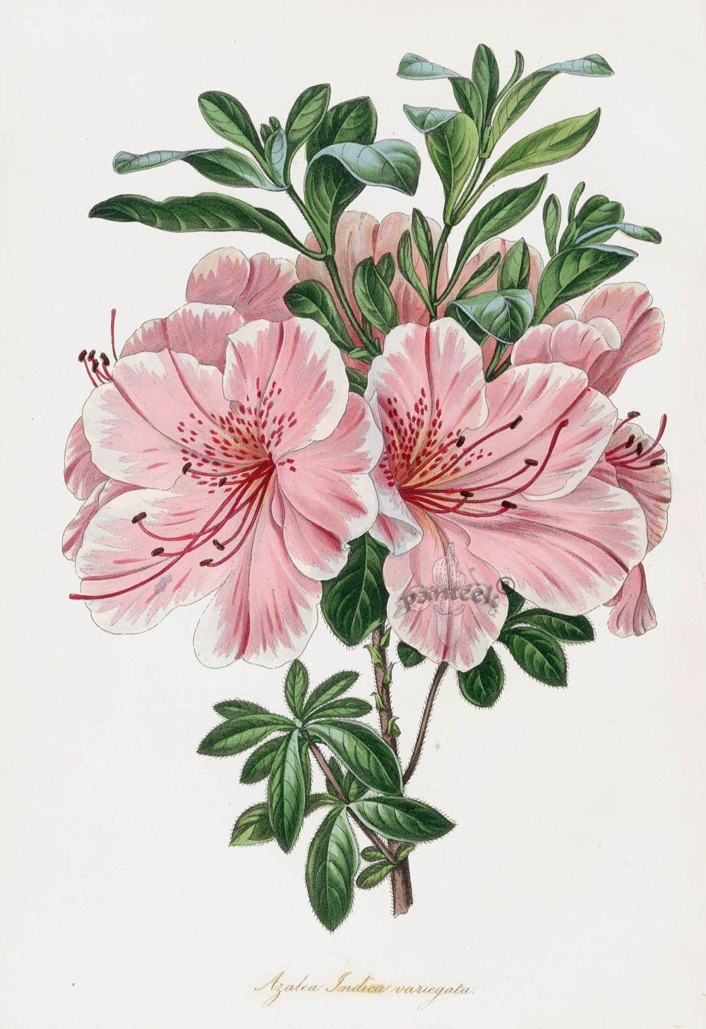 Azalea Pxt31 Flower Art Antique Botanical Print Botanical Prints