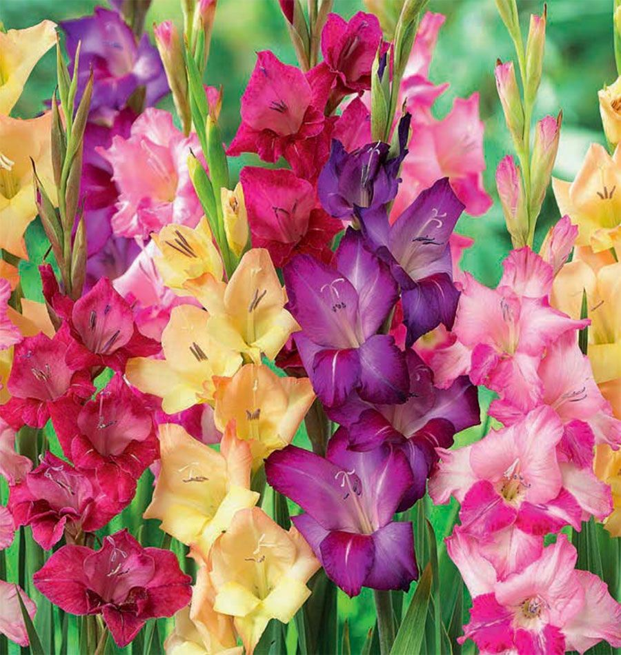 2018 P Gladiolus Giant Mix Gladiolus Flower Seeds Bulb Flowers