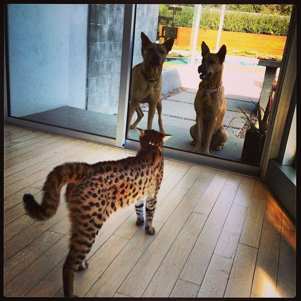 People Have Giant Cats Living In Their Houses And Oh My Goodness Giant Cat Savannah Chat Savannah Cat