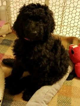 Poodle Standard Puppy For Sale In Sacramento Ca Adn 26268 On