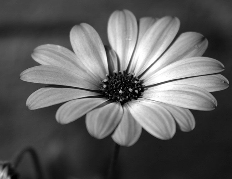 Black And White Flowers XZ86BciDQ | Crafts | Pinterest ...