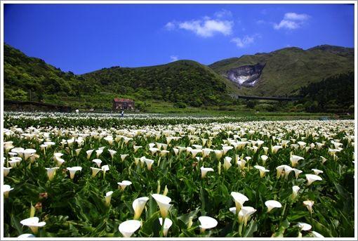 Calla Lily Field In Yangmingshan Zhuzihu Of Taipei City