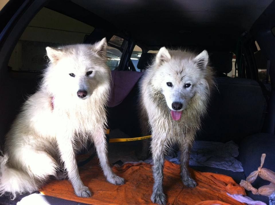 Mucky puppies samoyed (With images) Samoyed, Puppies, Dogs