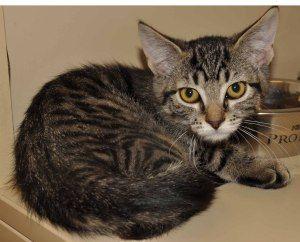 Adopt Rebecca Petsmart Huntington On Cat Adoption Petsmart Cats