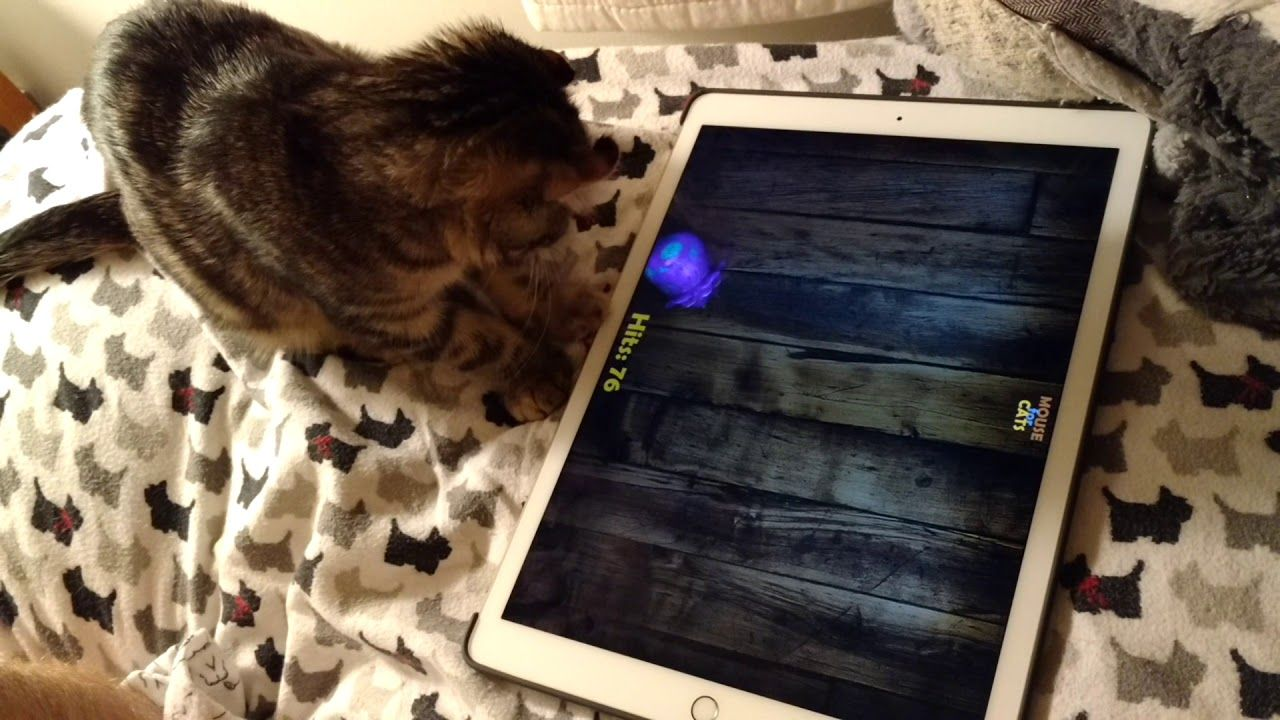 Kitten playing Mouse for Cats on iPad. Kittens playing