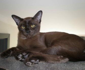 European Burmese Cat Breeders With Feather Black European Burmese