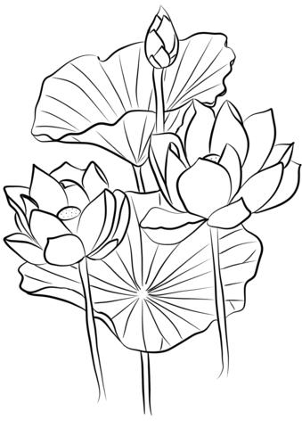 Sacred Lotus Nelumbo Nucifera Coloring Page Lotus Flower Drawing Lotus Art Lotus Flower Art