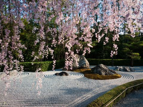 Cherry blossoms and karesansui garden