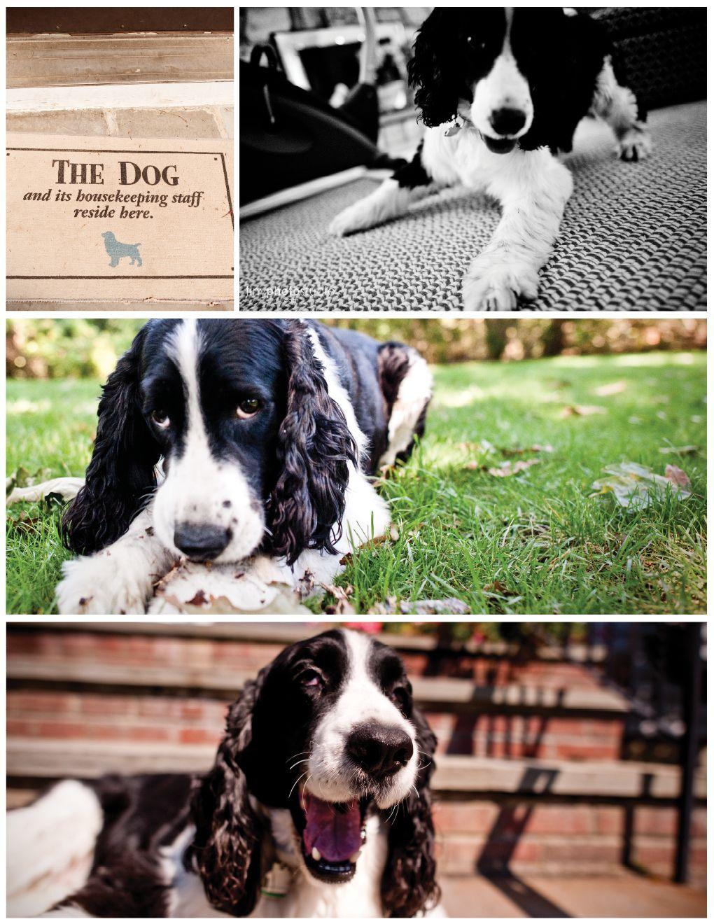English Springer Spaniel Springer Spaniel English Springer Spaniel Dog Names