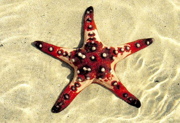 Pin By Lelia Sarda On The Big Blue Heaven Is So Close Chocolate Chip Starfish Starfish Beautiful Sea Creatures