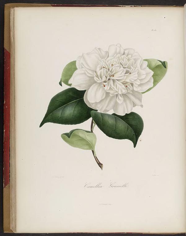 vol. 2 - Iconographie du genre C̲a̲m̲e̲l̲l̲i̲a̲, ou, Description et figures des C̲a̲m̲e̲l̲l̲i̲a̲ les plus beaux et les plus rares / - Biodiversity Heritage Library 1843