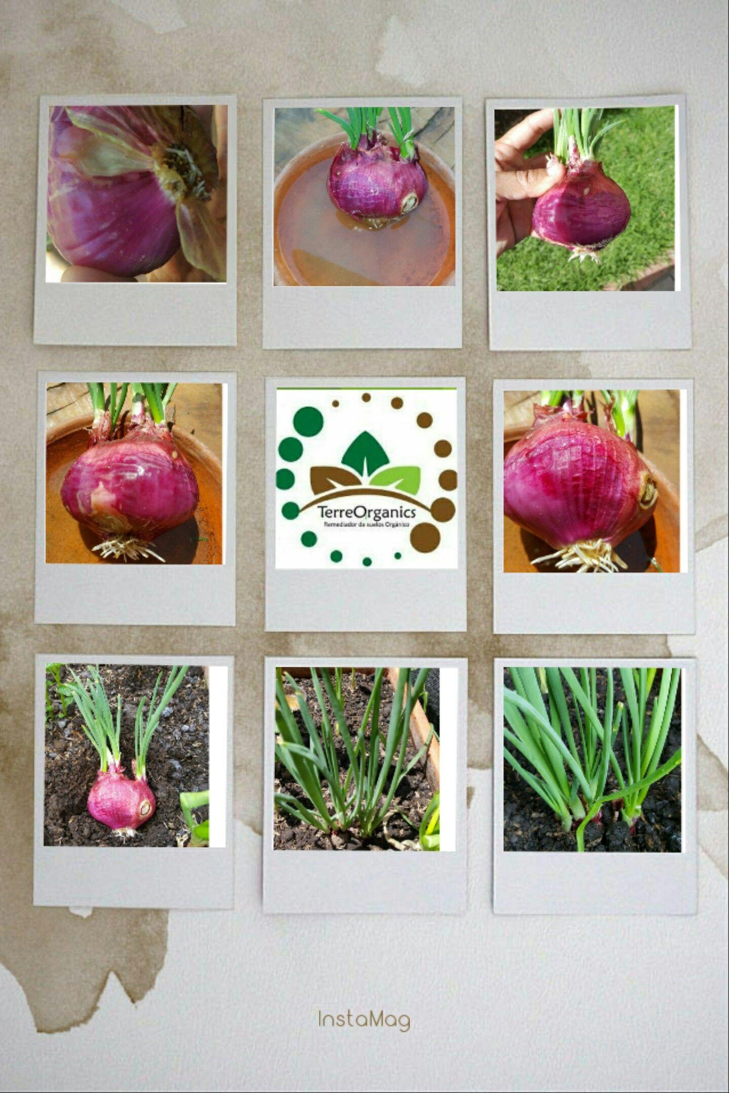 Mejoramiento del proceso de enraizado en  ajo y cebolla cabezona por la acción y propiedades de TerreOrganics. 100% orgánico, No tóxico, resultados a corto plazo, producto y producción saludables. Piensa en verde, actúa en verde🌎✔