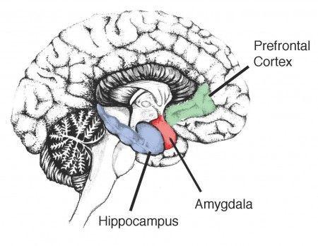 Hippocampus memory amygdala emotion parts of the temporal lobe hippocampus memory amygdala emotion parts of the temporal lobe ccuart Images