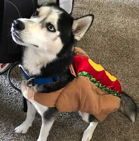 husky halloween costume dogcostumes howloween click for more dogs dressed up for halloween
