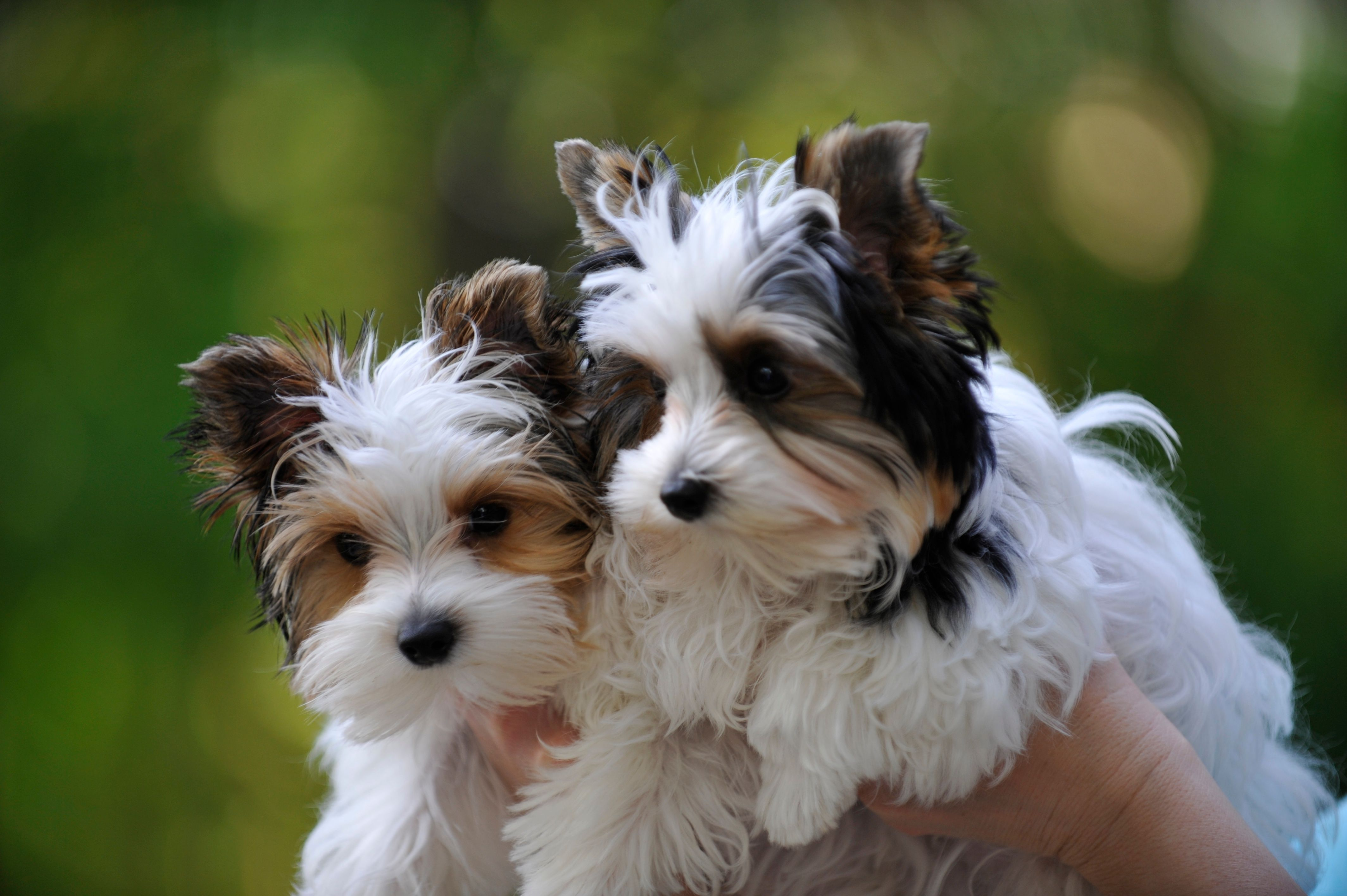 Lacey And Levi Again My Parti Yorkies Biewer Yorkie Yorkie Puppy Yorkie Dogs