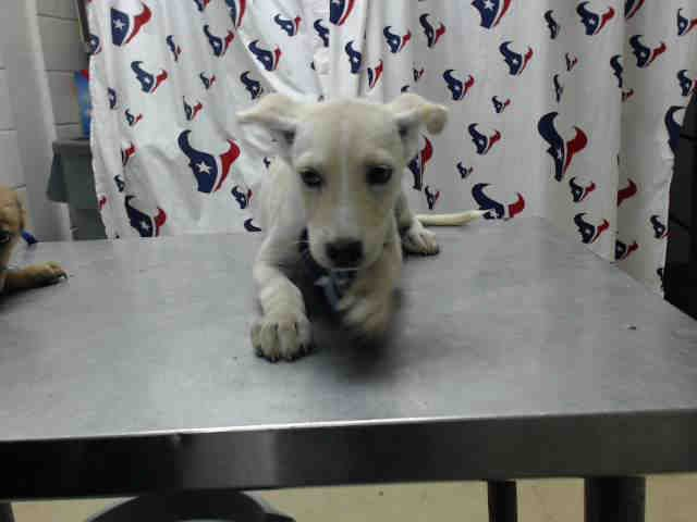This Dog Id A464003 Located At Harris County Animal Shelter In Houston Texas 9 Week Old Female German Shepherd Mix With Images Animal Shelter Animals Dog Adoption