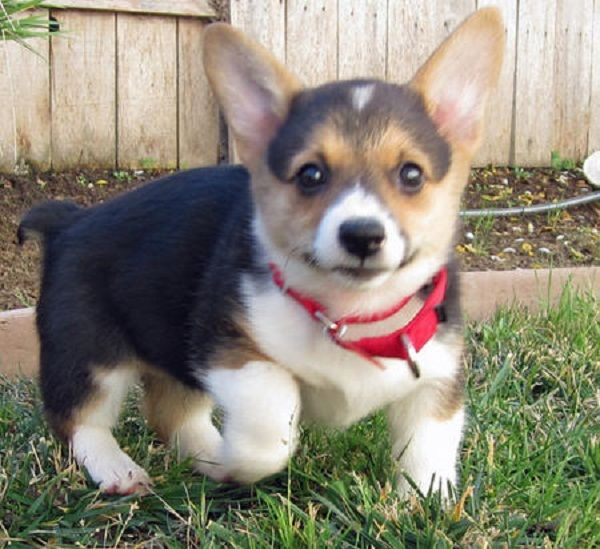 Welsh Corgi Puppies For Sale In Texas Zoe Fans Blog Corgi