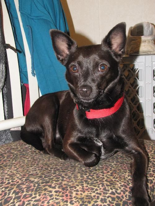 Meet Lizzy A Petfinder Adoptable Schipperke Dog Walnutport Pa You Can Fill Out An Adoption Application On Small Dog Adoption Dog Adoption American Animals