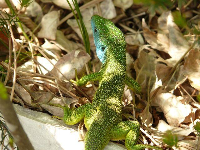 Free Image on Pixabay Emerald Lizard, Lizard, Reptile