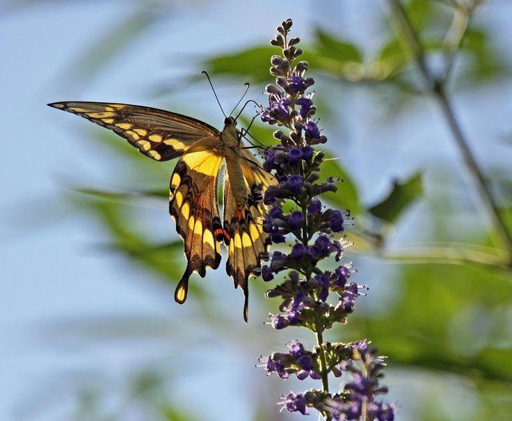 Wispy Butterfly Tattoo | visit southernaccents1 blogspot com