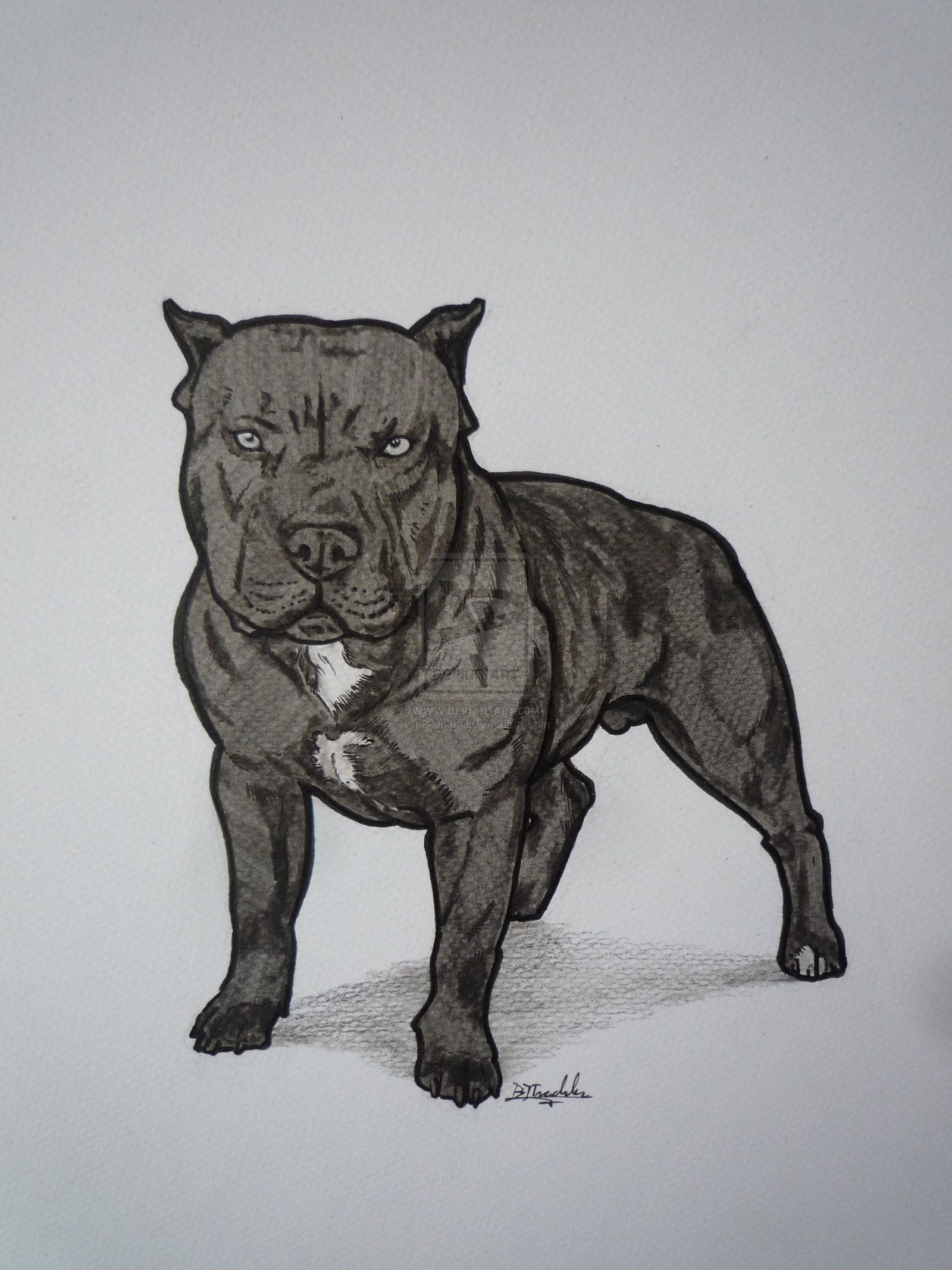 Drawn Pitbull Red Nose Pencil And In Color Drawn Pitbull Red