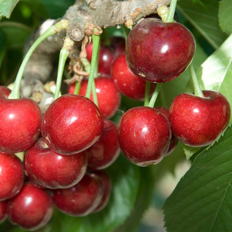 Sweetheart cherry tree (standard) $19.99, zone 5-9, 800 chill hours, 06/05 to 06/20 harvest, bright red fruit, sweet/tangy flavor, self-pollinator