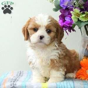 Cava Tzu Puppies For Sale Cava Tzu Pups Cavalier King Charles