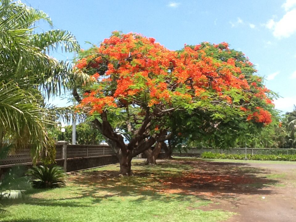 Flame Tree Tahiti