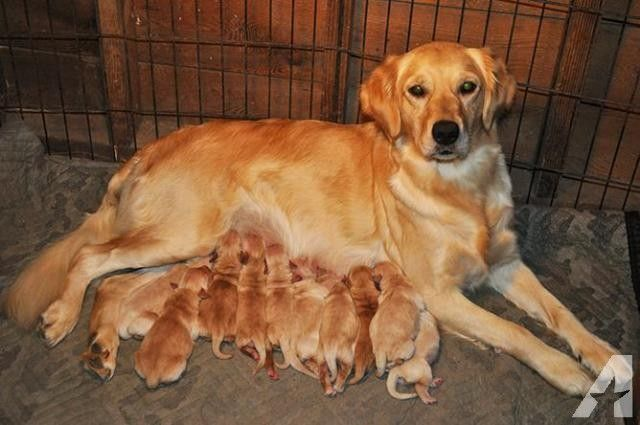 Akc Golden Retriever Puppies Born November 7th Golden Retriever Puppies Puppy Trainer