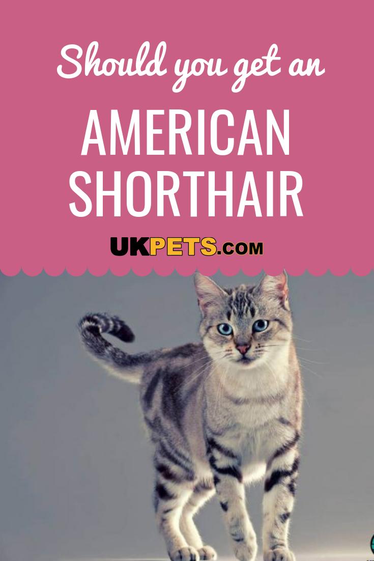 American Shorthair American shorthair cat, American