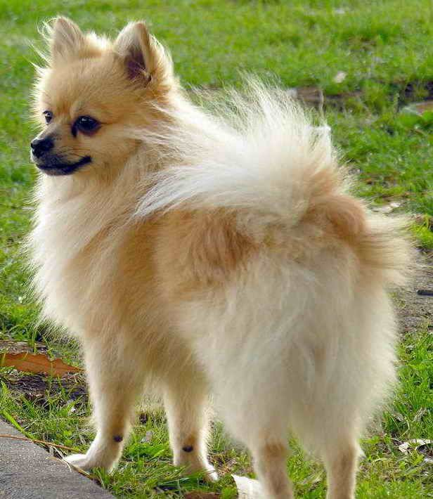 Chihuahua Dog Wikipedia The Free Encyclopedia