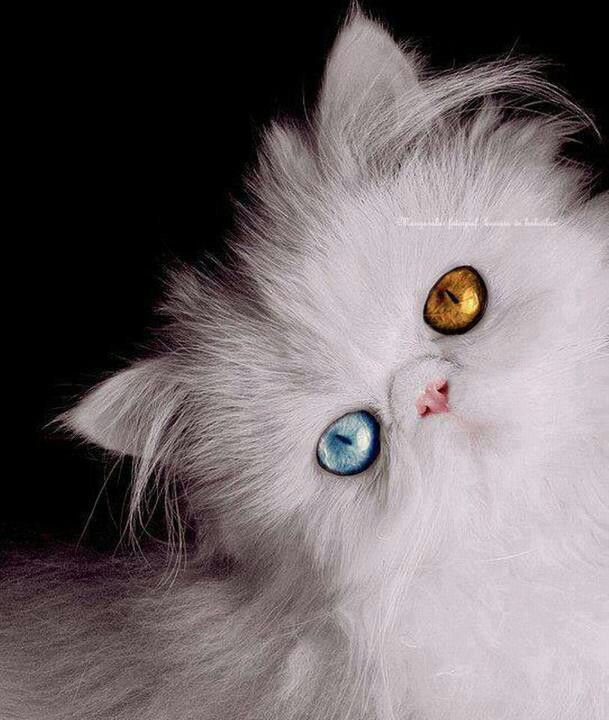 Beautiful Persian With One Blue Eye And One Orange Eye Cats Pretty Cats Crazy Cats