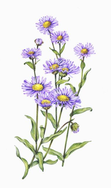 Botanical Illustration July 2010 Aster Flower Tattoos Birth Flower Tattoos Aster Flower
