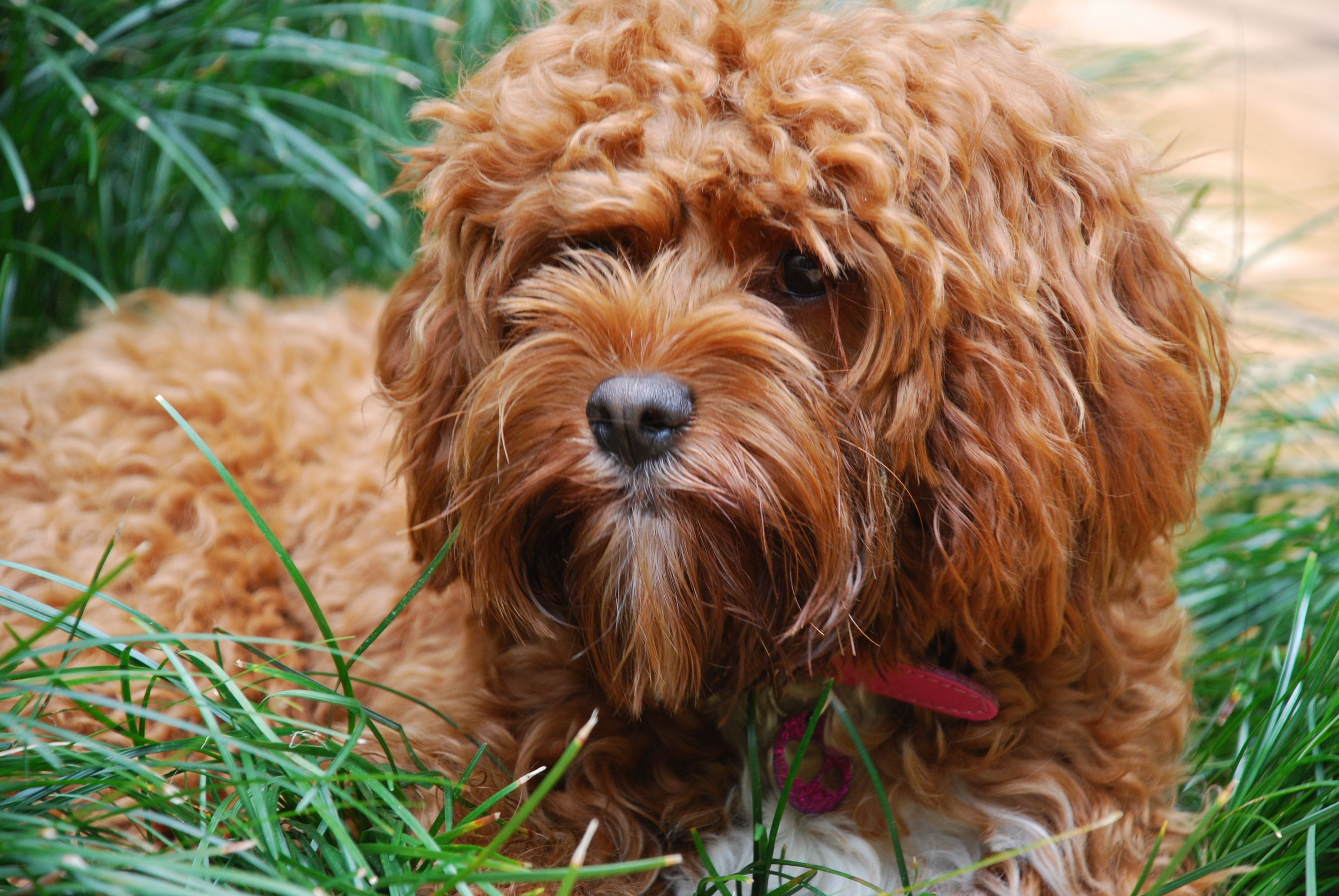 Red Toy Cavoodle Doodle Dog Puppies Dogs