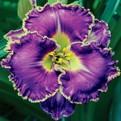 2 re-blooming daylily plants multiple colours