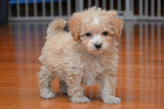 Cream Maltipoo Poochon Puppies Poodle Mix Dogs Poodle Puppy