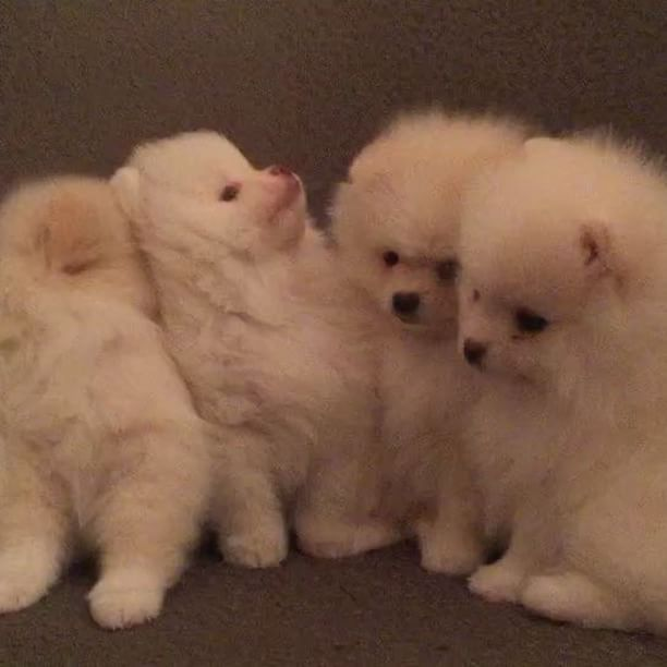 Pomeranian Puppies For Sale Get Pics And Price On Dogs And