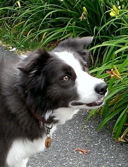 Border Collie Super Smart Breed Great For Agility Training